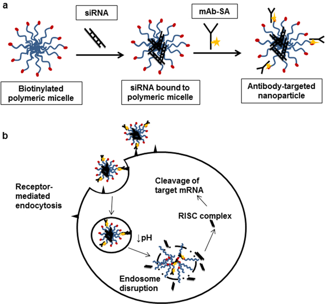 Antibody-targeted nanoparticle formation and intracellular siRNA delivery.