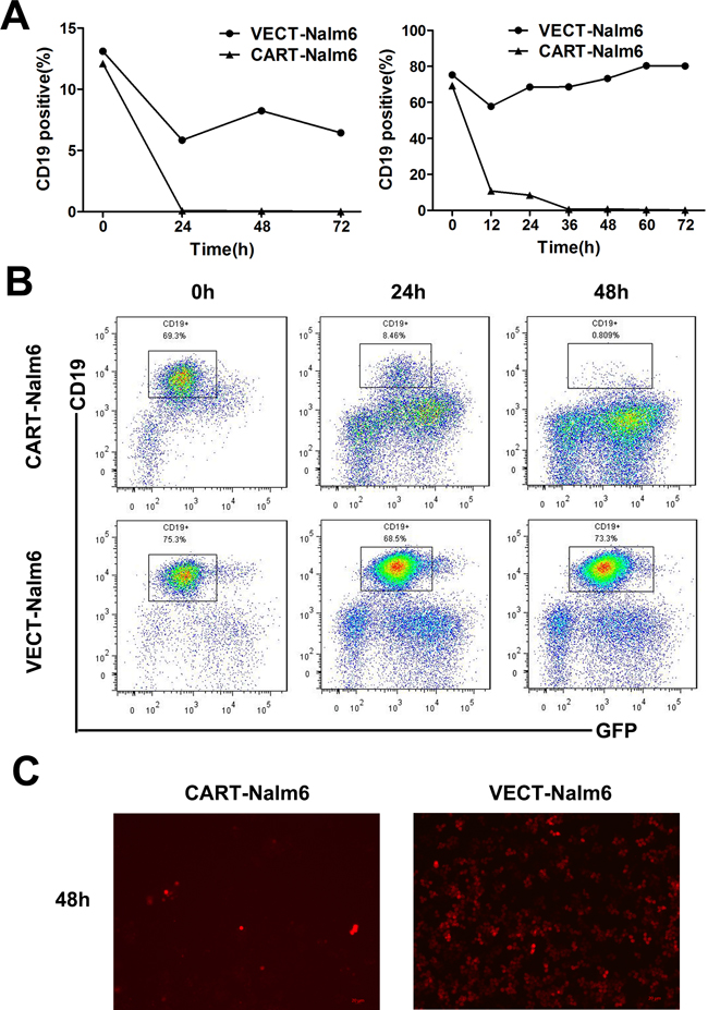 Nalm-6 leukemia cells could be eliminated by CAR-T cells.