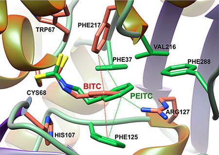 Model of BITC and PEITC bound to the catalytic cysteine of human NAT1 enzyme.