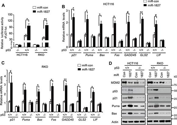 miR-1827 enhances the p53 transcriptional activity.