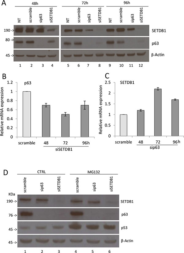 SETDB1 affects p63 protein stability.