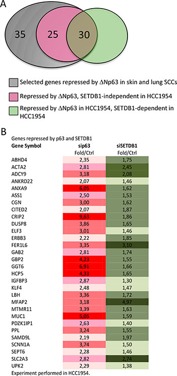 Genes repressed by both p63 and SETDB1 in HCC1954.