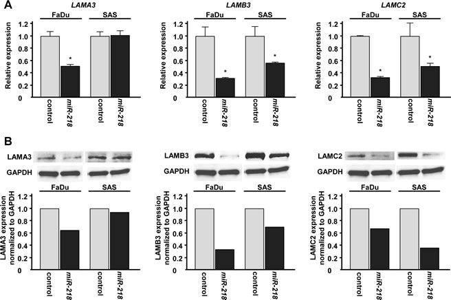 Laminin-332 expression was suppressed by miR-218 transfection at both the mRNA and protein levels in HNSCC cell lines.
