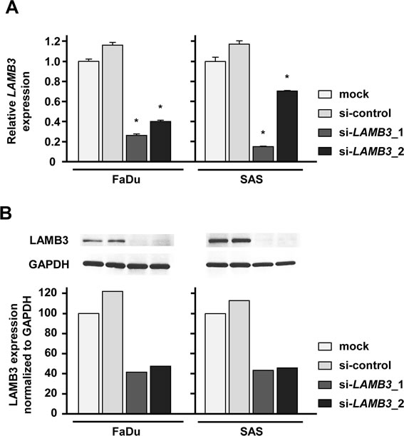 LAMB3 expression was suppressed by si-LAMB3 transfection at both the mRNA and protein levels in HNSCC cell lines.