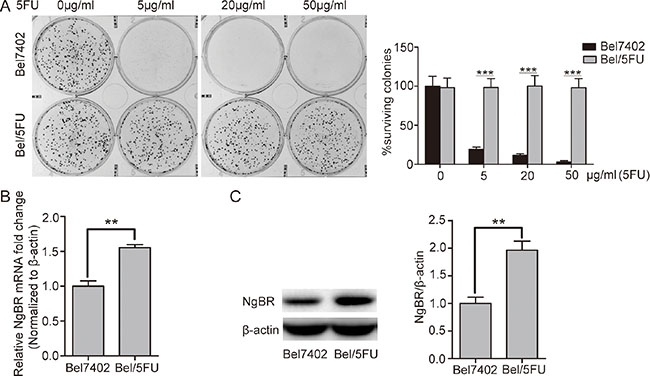 NgBR is highly expressed in the chemoresistant Bel/5FU cells.