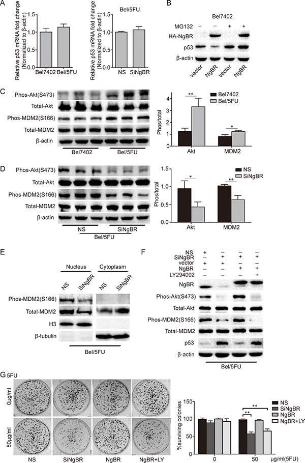NgBR inhibits p53 expression by activating the PI3K/Akt/MDM2 mediated ubiquitin proteasome pathway.