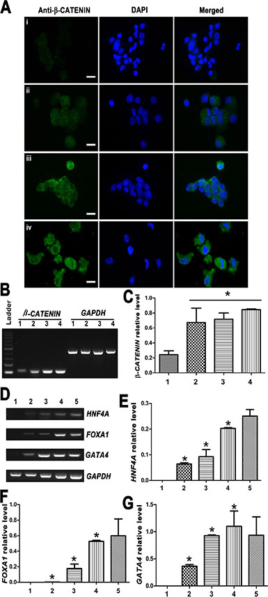 Expression changes of β-CATENIN and transcription factors HNF4A, FOXA1 and GATA4 during the transdifferentiation of human SSCs to mature hepatocytes.
