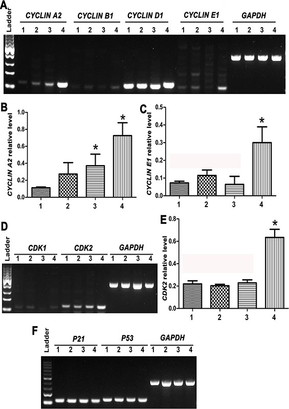 Expression changes of cell cycle regulators CYCLIN A2, CYCLIN B1, CYCLIN D1, CYCLIN E1, CDK1/2, P21 and P53 during the transdifferentiation of human SSCs to mature hepatocytes.