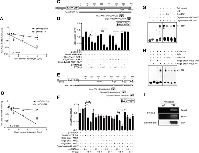 TTP enhances the decay of Twist1 and Snail1 mRNA through binding with an ARE within their mRNA 3′UTRs.