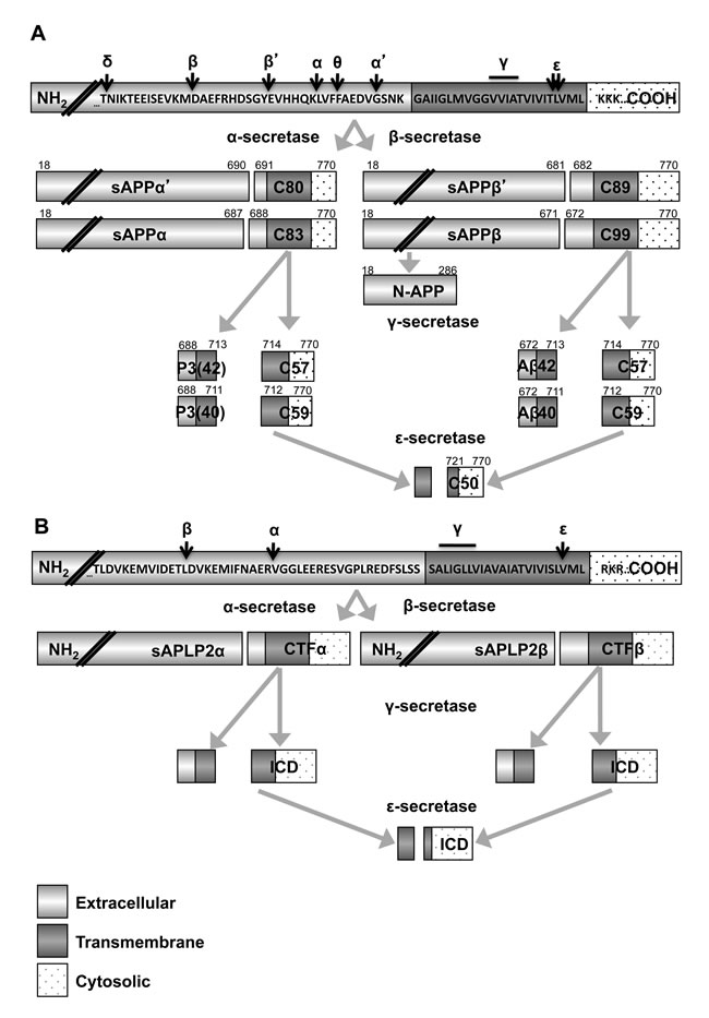 Secretase processing of APP and APLP2 generates many fragments.