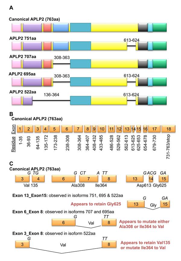 Isoforms of APLP2 arise through alternate splicing.