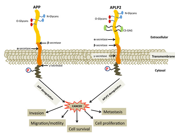 Deregulation of APP and APLP2 causes cancer progression and metastasis, but the roles in cancer of most of the protein interactions involving APP and APLP2 are not well understood.