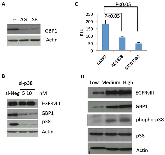 EGFRvIII–stimulated GBP1 expression is p38 MAPK dependent.