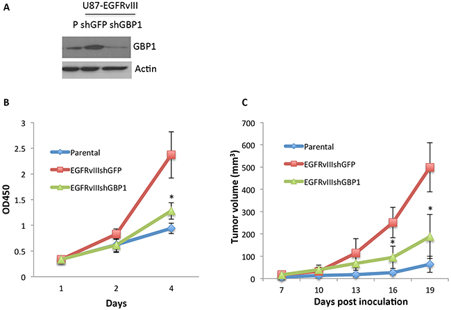 GBP1 is essential for EGFRvIII-expressing GBM cell proliferation in vitro and in vivo.