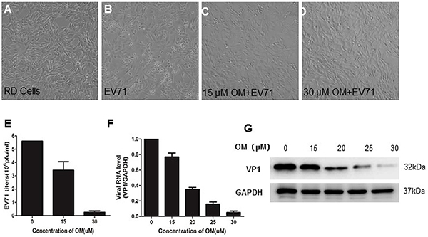 The inhibitory effects of OM against EV71 infection OM protected cytotoxic effects (CPE) from EV71 infection in RD cells