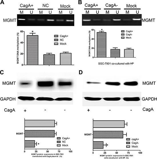 CagA induces MGMT gene hypermethylation and its expression loss.