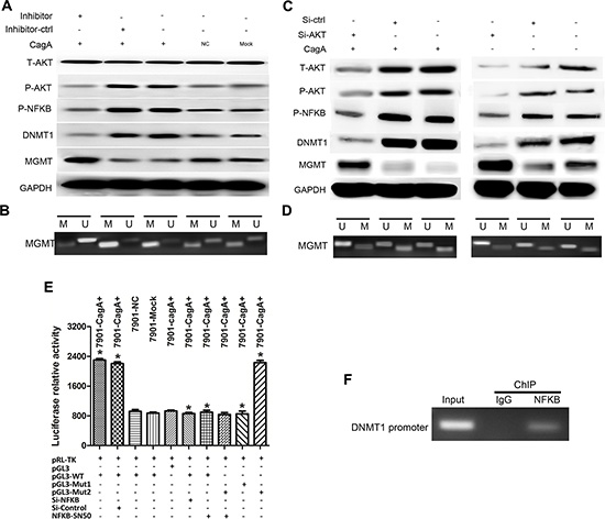 CagA-mediated DNMT1 upregulation is dependent on constitutive AKT phosphorylation and subsequent activated NFκB which combines to DNMT1 promoter.