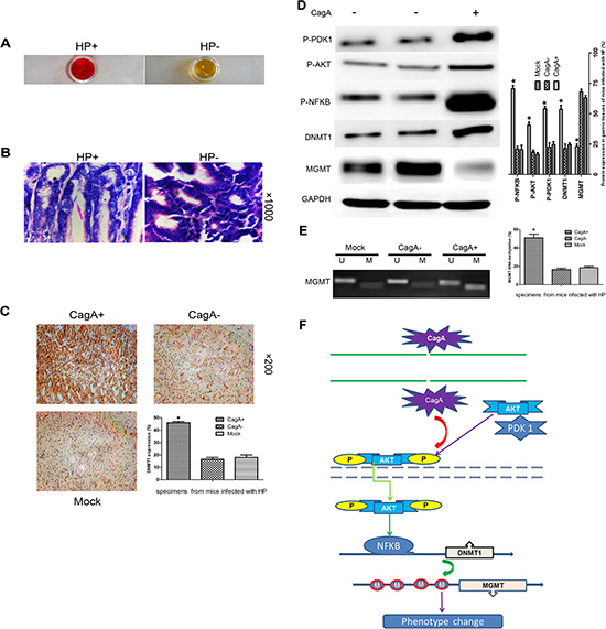CagA-mediated MGMT hypermethylation and subsequent protein decrease by upregulating DNMT1 via PDK1/AKT-NFκB pathway is recapitulated in vivo.