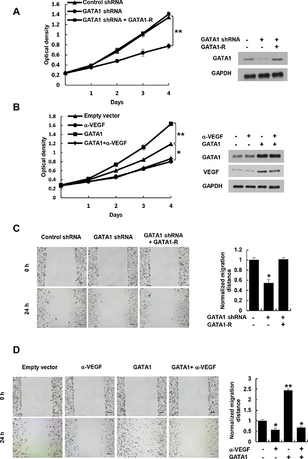 Cancer cell-secreted VEGF regulated by GATA1 modulates HUVEC proliferation and migration.