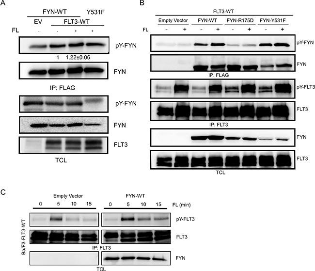 FYN phosphorylates FLT3 on tyrosine residues.