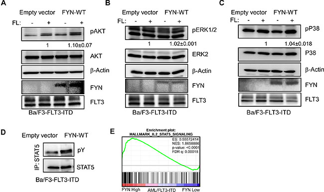FYN expression significantly increases FLT3-ITD-induced STAT5 phosphorylation: Ba/F3/FLT3-ITD cells stably transfected with FYN or empty vector were washed three times with RPMI-1640 to remove IL3.