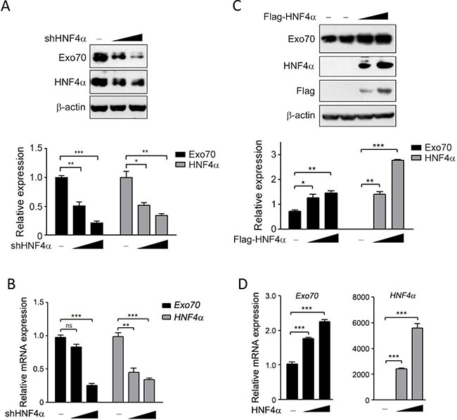 HNF4α regulates the expression of Exo70 protein.