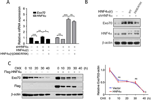 HNF4α transcriptionally regulates the expression of Exo70.