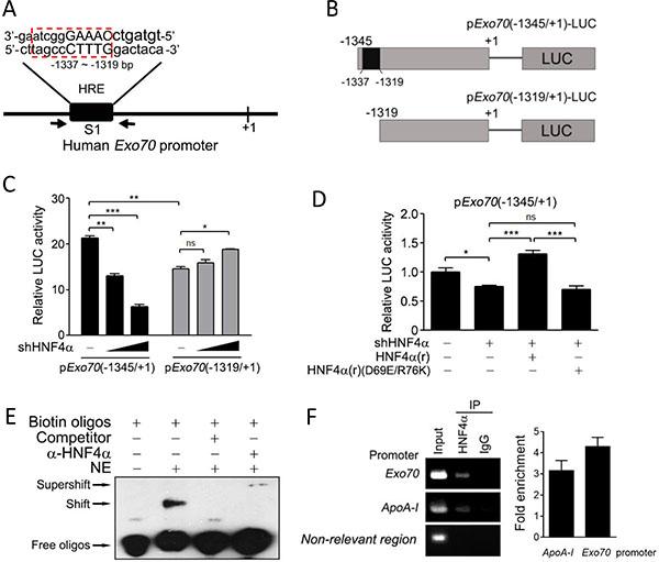 Exo70 is a novel target gene of HNF4α.