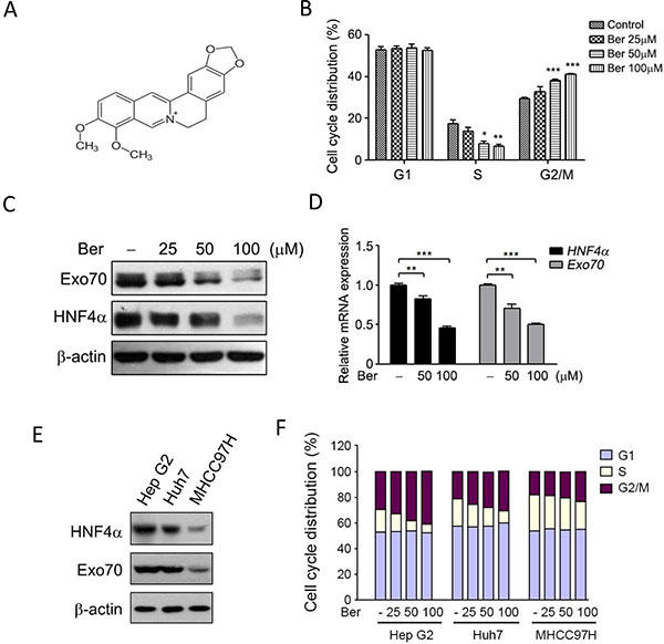 Berberine reduced the expression of HNF4α and Exo70, and induced cell cycle arrest at G2/M phase.