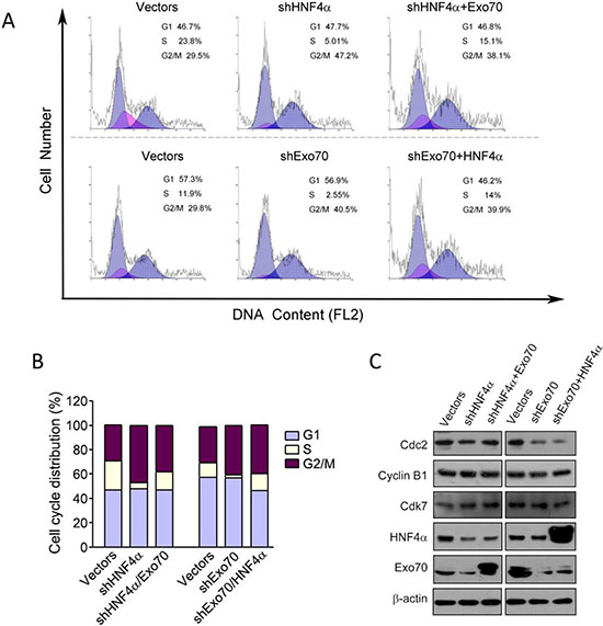 Exo70 acts downstream of HNF4α to regulate cell cycle via Cdc2.