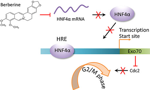 A schematic diagram for cell cycle arrest induced by downregulating HNF4α-Exo70 axis.