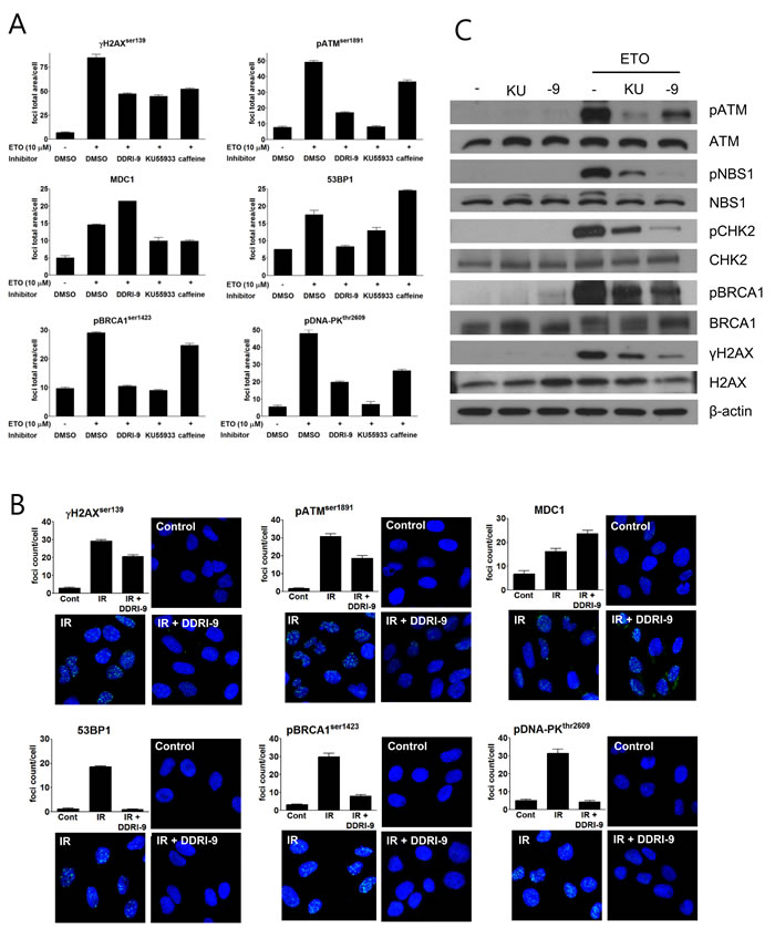 DDRI-9 inhibits the DDR signaling pathway.