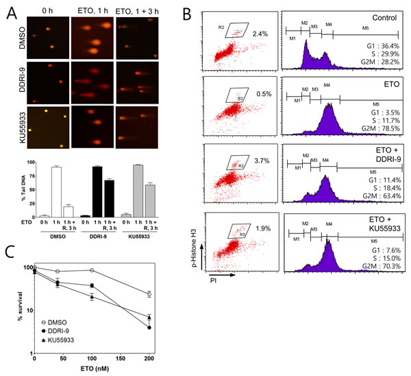 DDRI-9 inhibits DNA repair and cell cycle arrest.