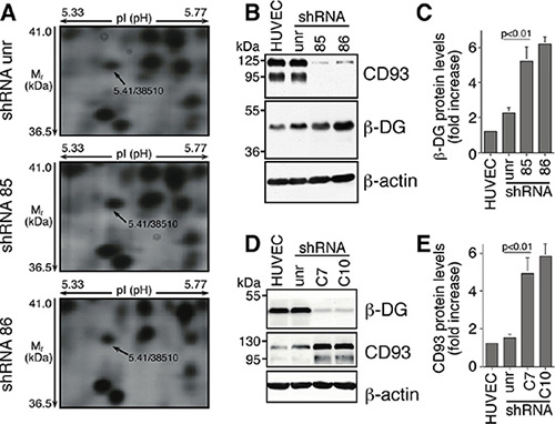 In ECs DG and CD93 silencing reveals adaptive changes in expression of both proteins.