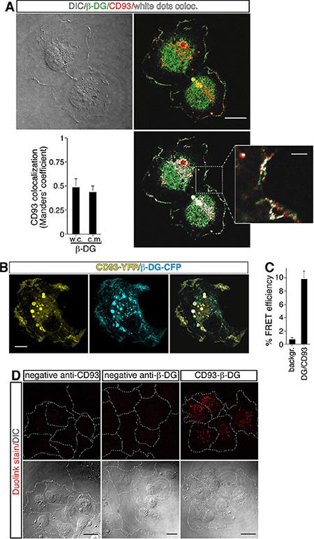 Direct association between CD93 and β-DG in ECs.