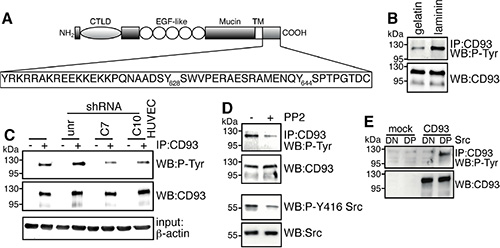 Binding of DG to laminin induces CD93 phosphorylation via Src.