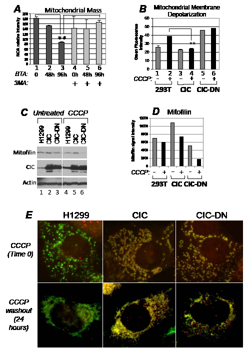 CIC protects from mitochondrial damage and depletion following respiration injury.