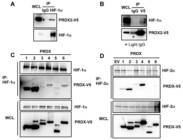 PRDX proteins bind to HIF-1
