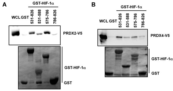 Mapping the PRDX2 and PRDX4 binding domains of HIF-1
