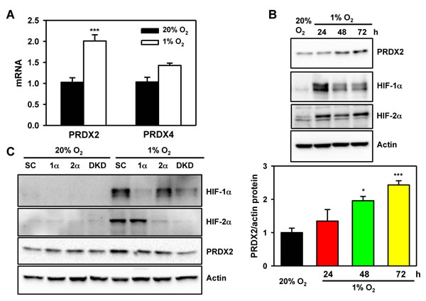 PRDX2 expression is regulated by HIF-1 and HIF-2.