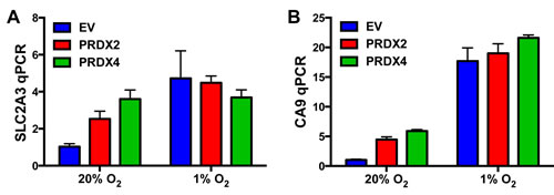 Effect of PRDX2 and PRDX4 on RNA polymerase II phosphorylation and binding to HIF target genes.