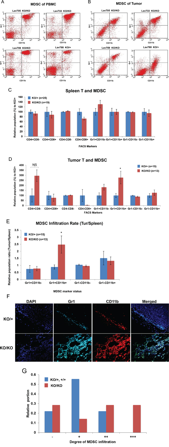 Increased MDSC infiltration in miR-155-deficient tumors.