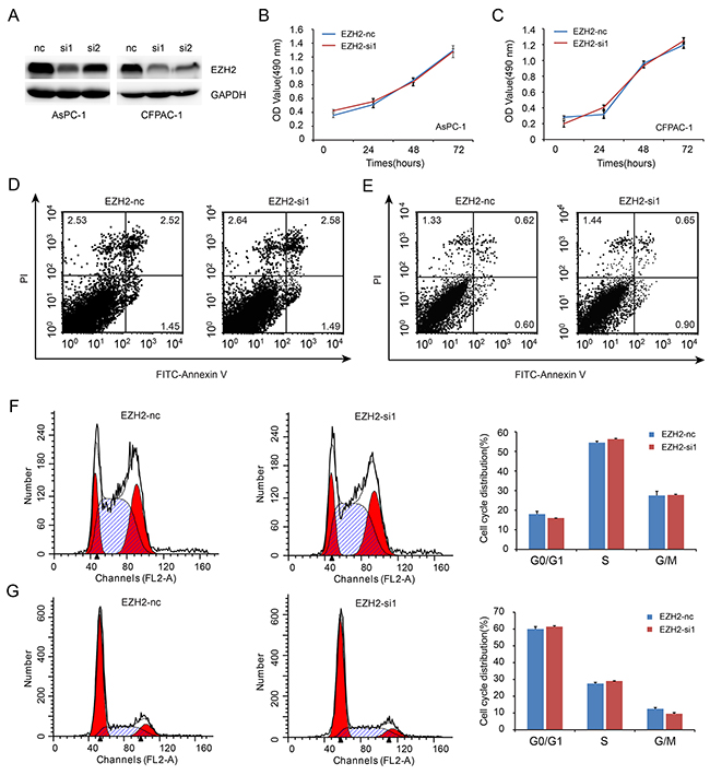 EZH2 knockdown in pancreatic cancer cells shows no effect on cell proliferation.