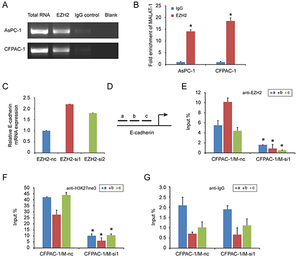 EZH2 is recruited by MALAT-1 to binding to E-cadherin promoter, suppressing E-cadherin expression.
