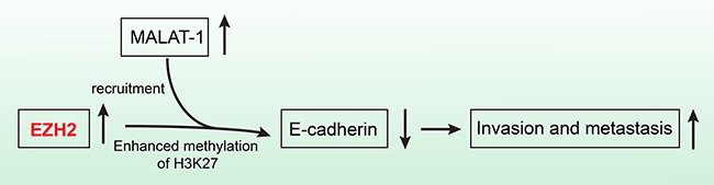 The schematic illustration of the EZH2 mechanism in pancreatic cancer.