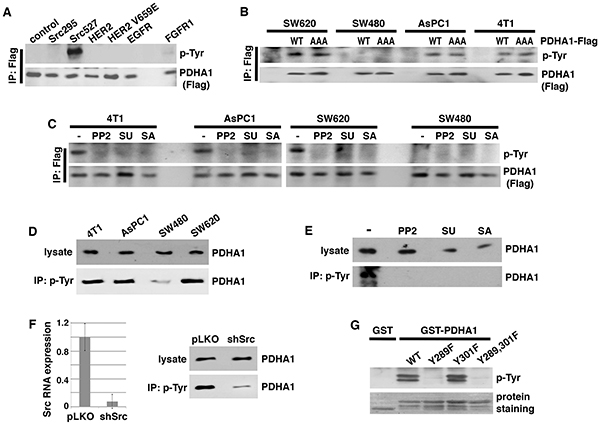 Src is required for PDHA1 tyrosine phosphorylation in cancer cells and directly phosphorylates PDHA1 at Y289.