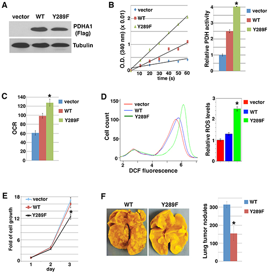 PDHA1 Y289F mutant activates PDH and oxidative metabolism, and reduces cell growth and metastasis.