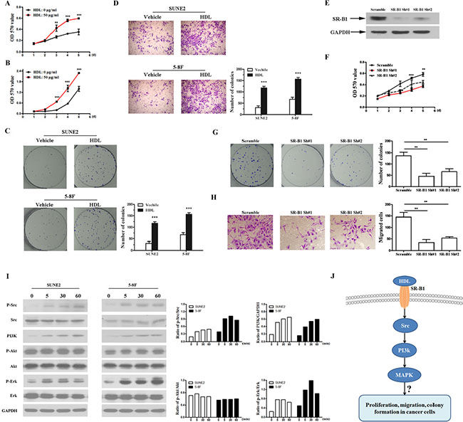 HDL promotes proliferation and enhances the transformation ability of NPC cells.