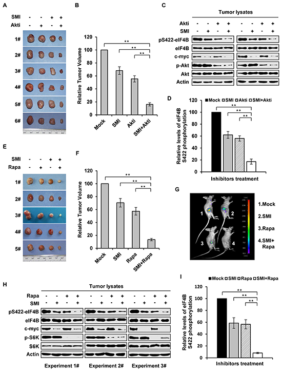Combined inhibition of Pim and PI3K/Akt/mTOR pathways suppresses the growth of K562 tumor engrafted in nude mice in a synergistic manner.