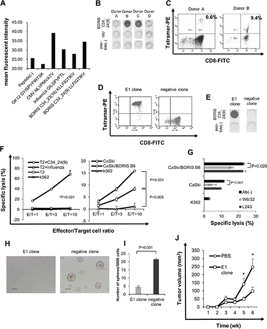 BORIS sf 6-specific CTL response can suppress sphere formation.